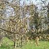 Carpinus9.jpg 1127 x 845 px 326.67 kB