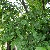 CarpinusBetulusIncisa2.jpg 1127 x 845 px 204.52 kB