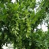 CarpinusBetulusIncisa.jpg 1127 x 845 px 204.77 kB