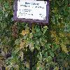 CarpinusBetulusQuercifolia2.jpg 1024 x 768 px 204.29 kB