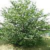 CarpinusBetulusQuercifolia.jpg 630 x 840 px 193.67 kB