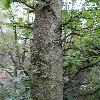 CarpinusOrientalis3.jpg 720 x 960 px 396.16 kB