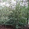 CarpinusOrientalis.jpg 720 x 960 px 539.01 kB