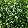 CarumCarvi4.jpg 638 x 850 px 218.45 kB