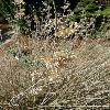 CaryopterisClandonensis2.jpg 638 x 850 px 141.82 kB