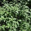 CaryopterisClandonensis3.jpg 681 x 908 px 452.94 kB