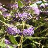 CaryopterisClandonensisHeavenlyBlue2.jpg 576 x 768 px 113 kB