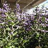 CaryopterisClandonensisHeavenlyBlue.jpg 576 x 768 px 183.7 kB
