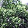 CastaneaSativa3.jpg 638 x 850 px 189.11 kB