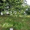 CastaneaSativaAsplenifolia.jpg 630 x 840 px 189.51 kB