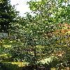 CastaneaSativaVariegata.jpg 576 x 768 px 196.52 kB