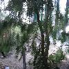 CasuarinaEquisetifolia2.jpg 576 x 768 px 126.3 kB