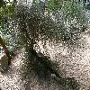 CasuarinaStricta.jpg 1110 x 833 px 341.38 kB