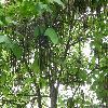CatalpaBignonioides13.jpg 1127 x 845 px 266.03 kB