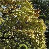 CatalpaSpeciosa2.jpg 681 x 908 px 295.75 kB