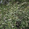 CeanothusDecornutus.jpg 900 x 1200 px 527.97 kB