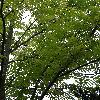 CedrelaSinensis2.jpg 720 x 960 px 505.28 kB