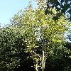 CedrelaSinensis4.jpg 681 x 908 px 273.11 kB
