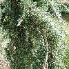 CedrusDeodaraPendula2.jpg 630 x 840 px 224.06 kB