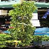 CedrusDeodarataVikinsGold.jpg 264 x 804 px 83.04 kB