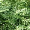 CephalotaxusHarringtonia2.jpg 638 x 850 px 183.19 kB