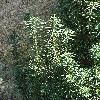 CephalotaxusHarringtonia4.jpg 681 x 908 px 471.94 kB