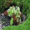 CephalotusFollicularis.jpg 1200 x 900 px 273.1 kB