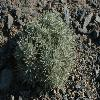 CeratocarpusArenarius.jpg 700 x 495 px 244.21 kB