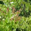 CercidiphyllumJaponicum2.jpg 1127 x 845 px 189.69 kB
