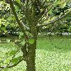 CercidiphyllumJaponicum4.jpg 638 x 850 px 175.36 kB