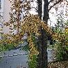 CercidiphyllumJaponicum6.jpg 1141 x 856 px 387.45 kB