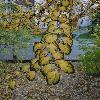 CercidiphyllumJaponicum7.jpg 642 x 856 px 186.91 kB