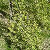 CercidiphyllumJaponicumPendulum2.jpg 638 x 850 px 208.98 kB