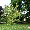 CercidiphyllumJaponicum.jpg 1127 x 845 px 295.27 kB