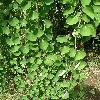 CercidiphyllumMagnificumPendula2.jpg 630 x 840 px 168 kB