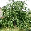 CercidiphyllumMagnificumPendula.jpg 630 x 840 px 202.69 kB