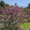Cercis occidentalis
