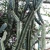 CereusJamacaru4.jpg 720 x 960 px 421.54 kB