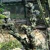 CereusJamacaruMonstrosus.jpg 720 x 960 px 384.09 kB
