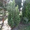 ChamaecyparisLawsonianaEllwoodsGold.jpg 681 x 908 px 452.53 kB