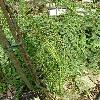 ChamaecyparisLawsonianaImbricataPendula.jpg 630 x 840 px 195.7 kB