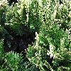 ChamaecyparisLawsonianaPygmaeaArgentea.jpg 1024 x 768 px 272.6 kB