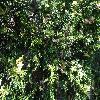 ChamaecyparisPisiferaNanaAureovariegata2.jpg 1024 x 768 px 305.04 kB