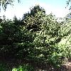 ChamaecyparisPisiferaSnow.jpg 681 x 908 px 418.74 kB