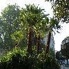 ChamaeropsHumilis22.jpg 1127 x 845 px 263.3 kB