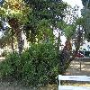 ChamaeropsHumilis24.jpg 1127 x 845 px 288.28 kB