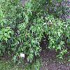ChionanthusSalicifolius.jpg 1024 x 768 px 264.28 kB