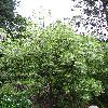 ChionanthusVirginicus2.jpg 720 x 960 px 515.95 kB