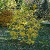 ChionanthusVirginicus6.jpg 720 x 960 px 519.43 kB