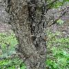 ChoseniaArbutifolia3.jpg 681 x 908 px 431.86 kB